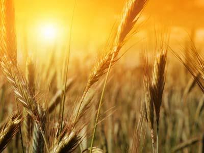 Queda na produção de trigo do Uruguai